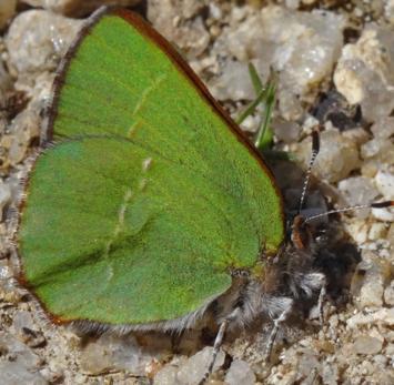 Nueva especie de mariposa en la Comunidad de Madrid – 5 febrero 2016